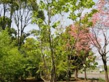 シロモジ樹形