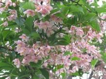 エゴノキ花