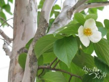 ナツツバキ(シャラノキ)花